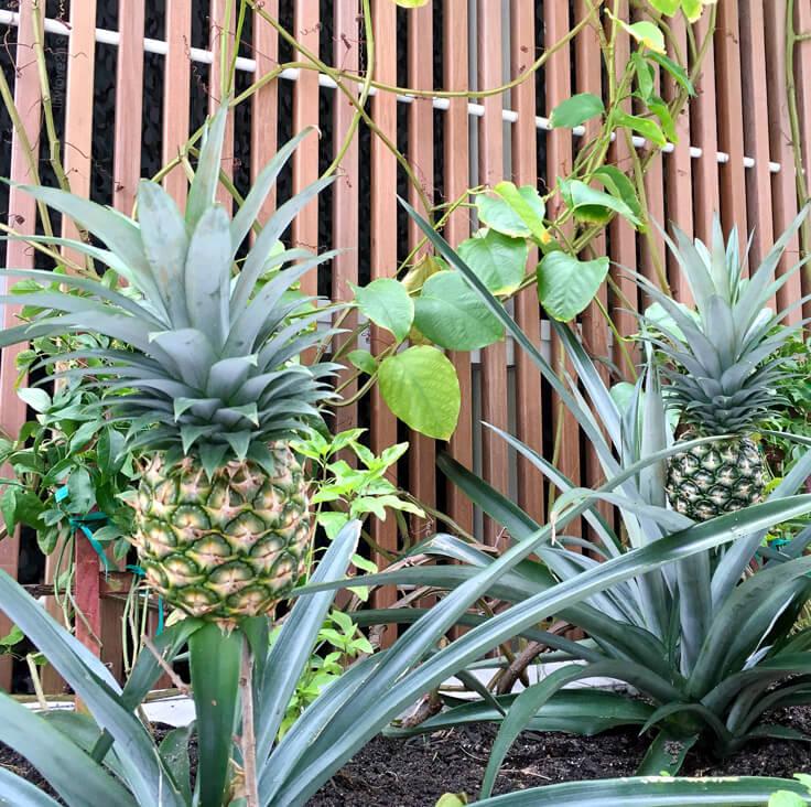 sistertime_pineapple_736